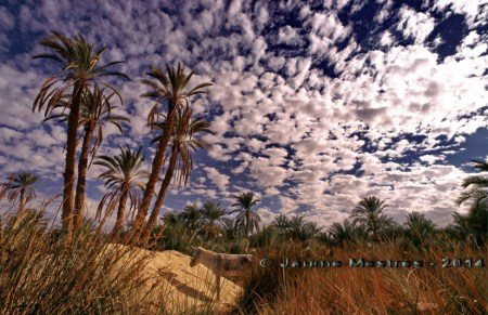 Bolves de cotó encastades al cel. Oasi de Siwa. Egipte